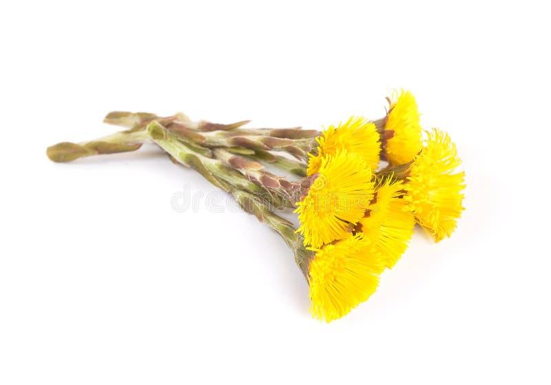 Fleurs de coltsfoot photographie stock libre de droits