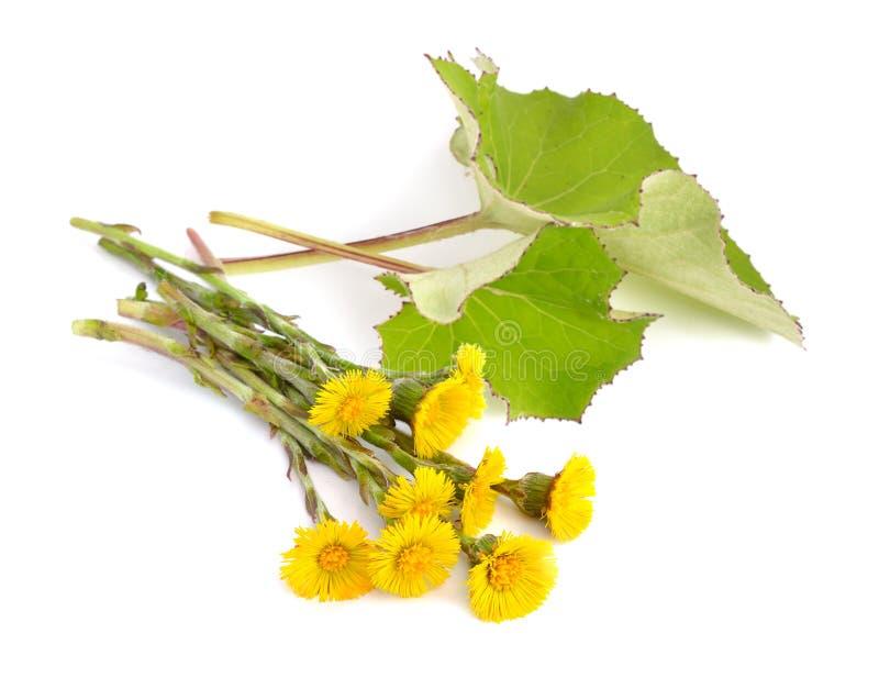 Fleurs de Coltsfoot avec des leawes d'isolement photographie stock libre de droits