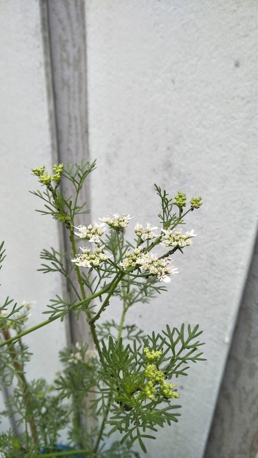 Fleurs de coriandre photos libres de droits