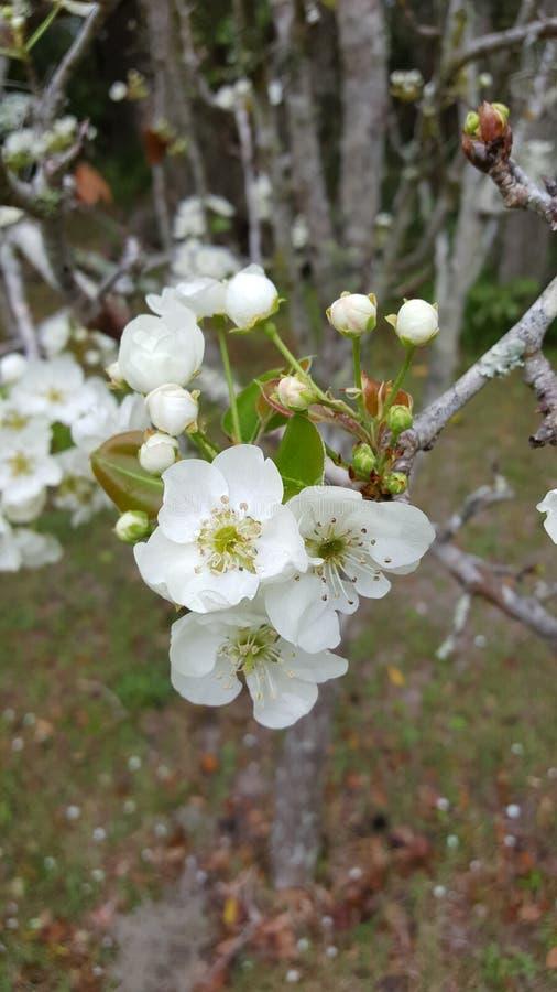 Fleurs de cornouiller images libres de droits