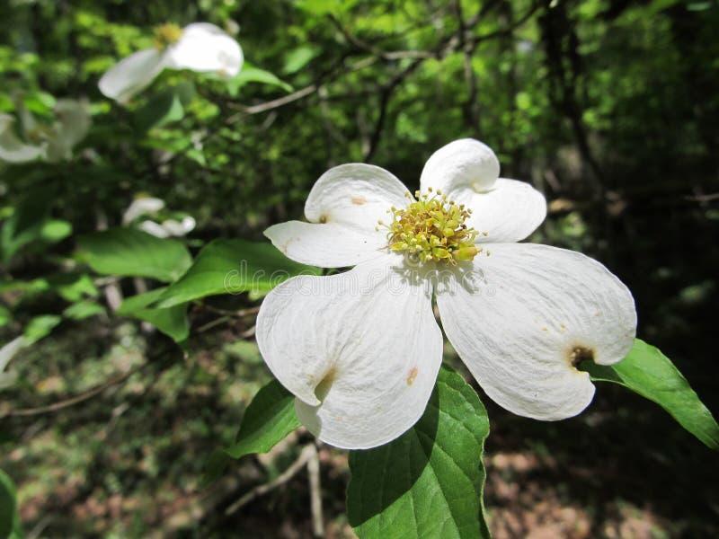Fleurs de cornouiller dans les bois photographie stock