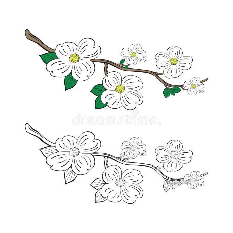 Fleurs de cornouiller et branche d'arbre photographie stock libre de droits