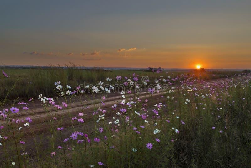 Fleurs de cosmos à côté du chemin de terre au coucher du soleil images libres de droits