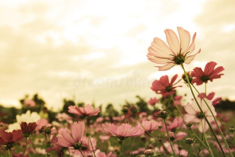Fleurs de cosmos dans le coucher du soleil image libre de droits