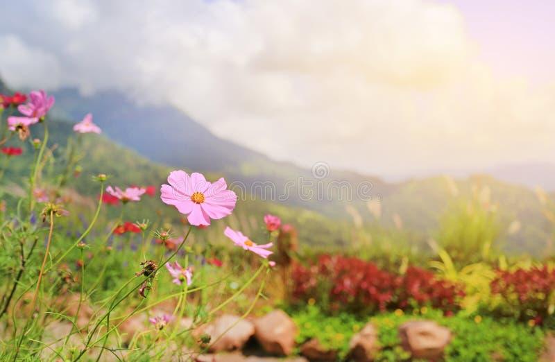 Fleurs de cosmos dans le domaine de pré sous la lumière du soleil et le paysage de montagne image libre de droits