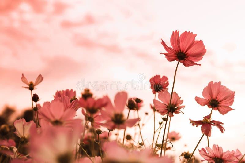 Fleurs de cosmos en fleur photographie stock