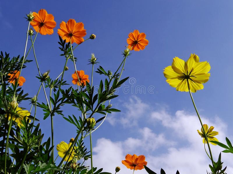 Fleurs de cosmos se levant au soleil photo stock
