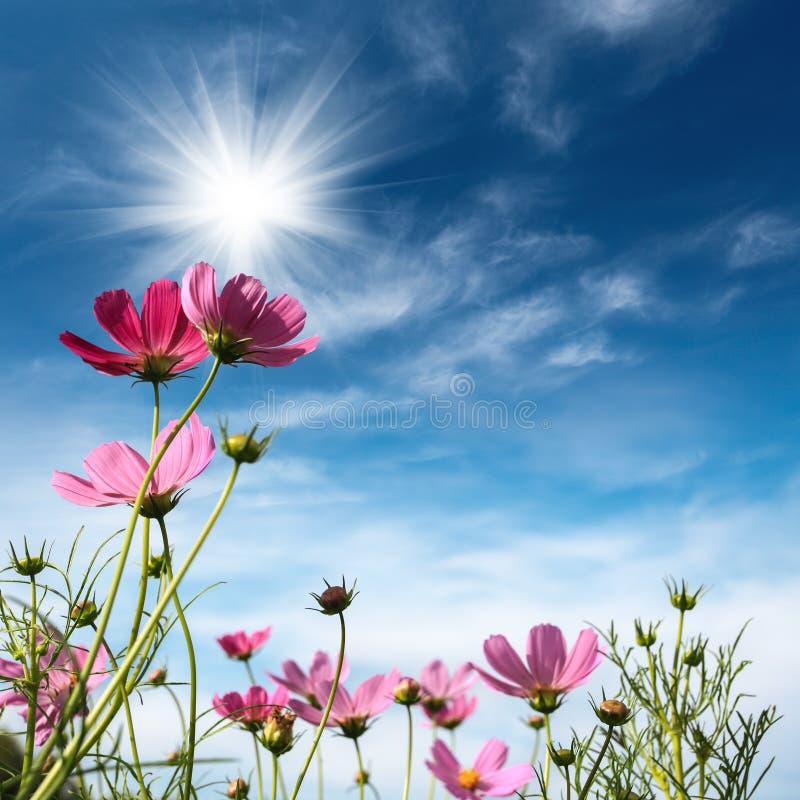 Fleurs de cosmos sous le ciel image stock