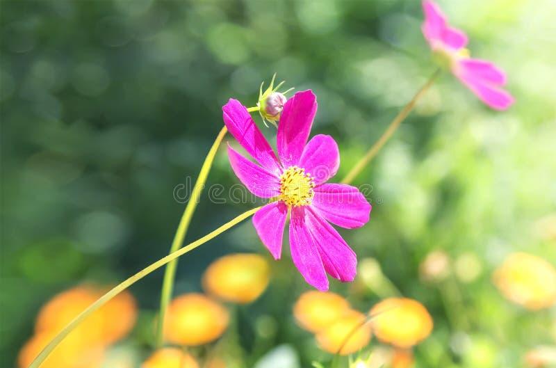 Fleurs de cosmos sur le fond d'été photographie stock libre de droits