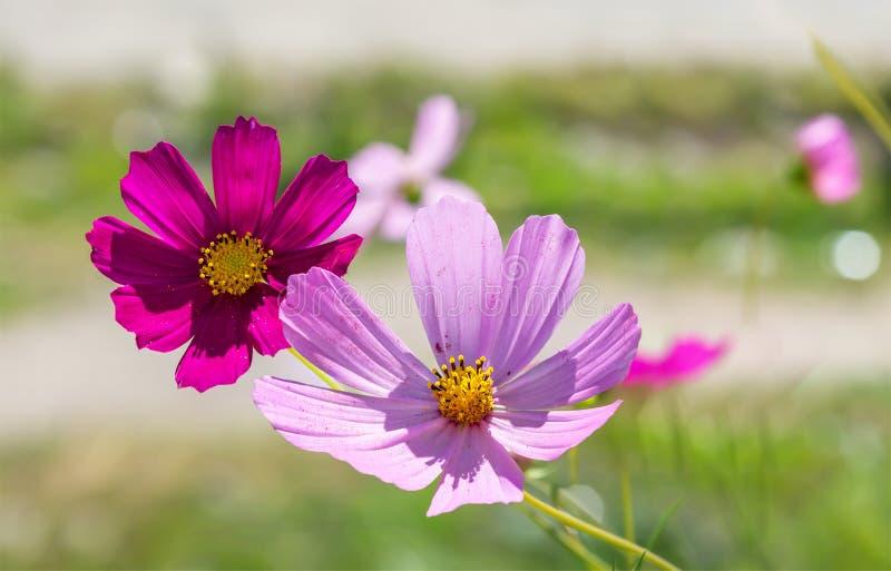Fleurs de cosmos sur le fond d'été photo libre de droits