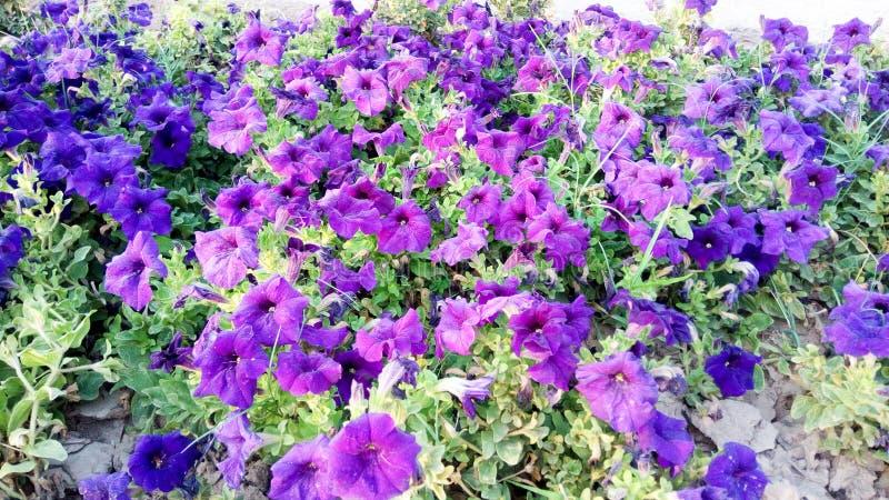 Fleurs de couleur de Purpal image libre de droits