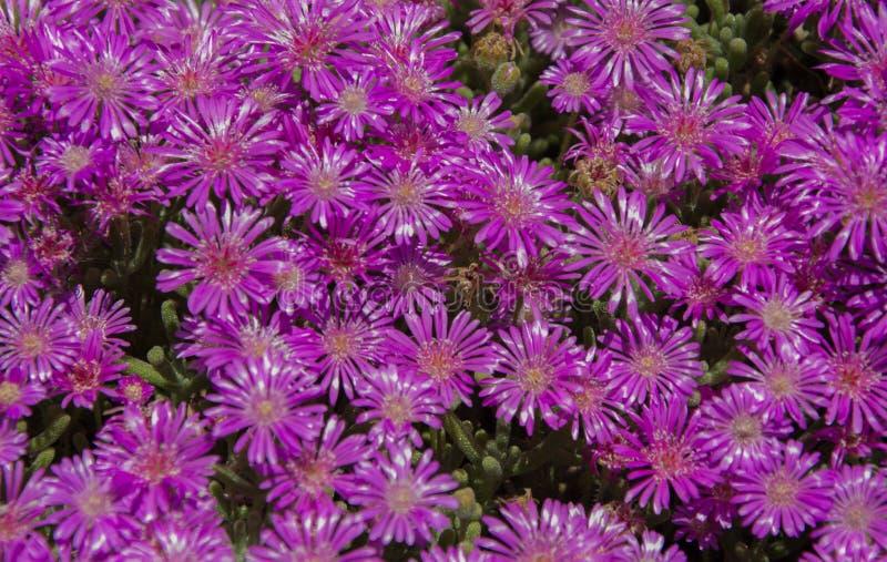 Fleurs de couleur mauve, violette et pourpre dans le pré Fleurs, bouquet image stock