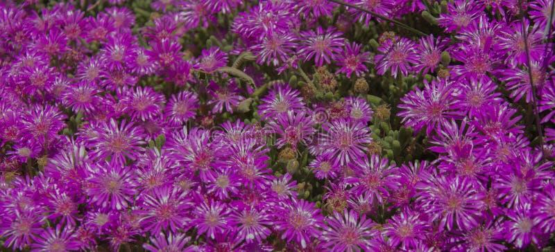 Fleurs de couleur mauve, violette et pourpre dans le pré Fleurs, bouquet images libres de droits
