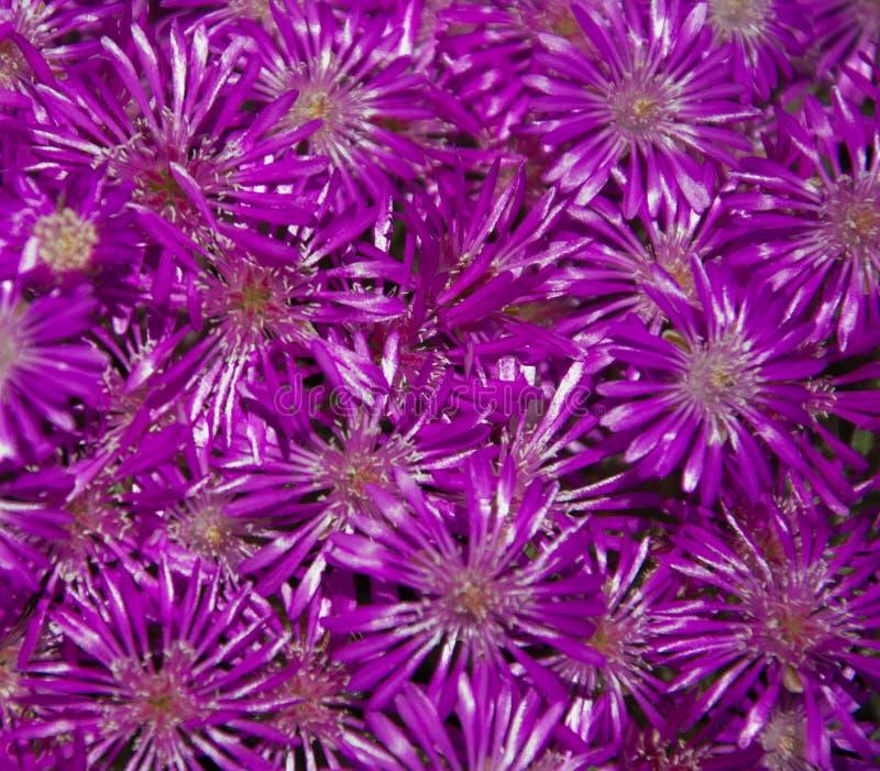Fleurs de couleur mauve, violette et pourpre dans le pré Fleurs, bouquet photos libres de droits