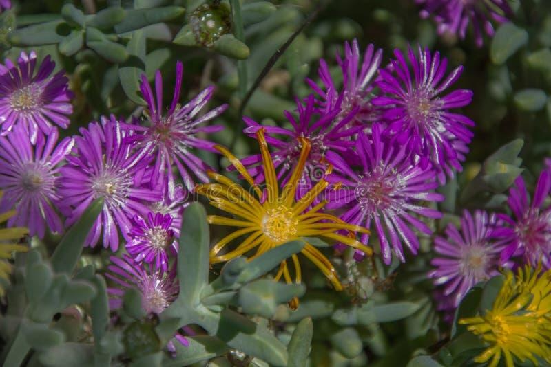 Fleurs de couleur mauve, violette et pourpre dans le pré Fleurs, bouquet photos stock