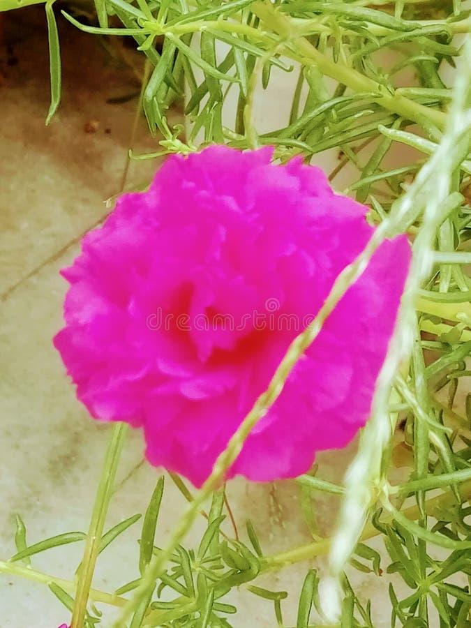 Fleurs de couleur de Merjenda images libres de droits