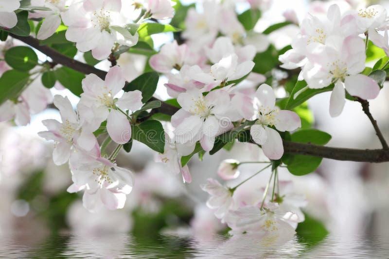 fleurs de Crabe-Apple photographie stock