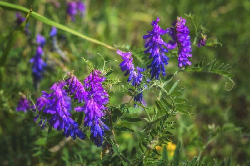Fleurs de cracca de vicia dans le domaine d'?t? Vesce tuftée fleurissant avec les fleurs violettes et bleues dans un pré photos libres de droits