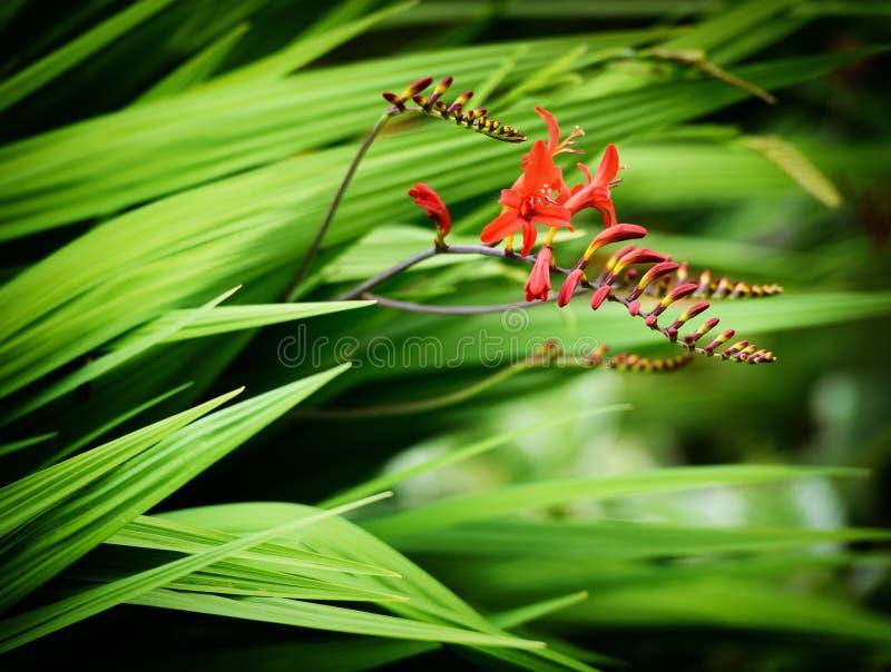 Fleurs de Crocosmia Lucifer photographie stock libre de droits