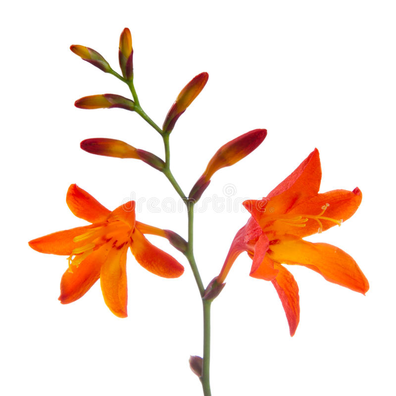 Fleurs de Crocosmia (Montbretia) sur le fond blanc photos stock