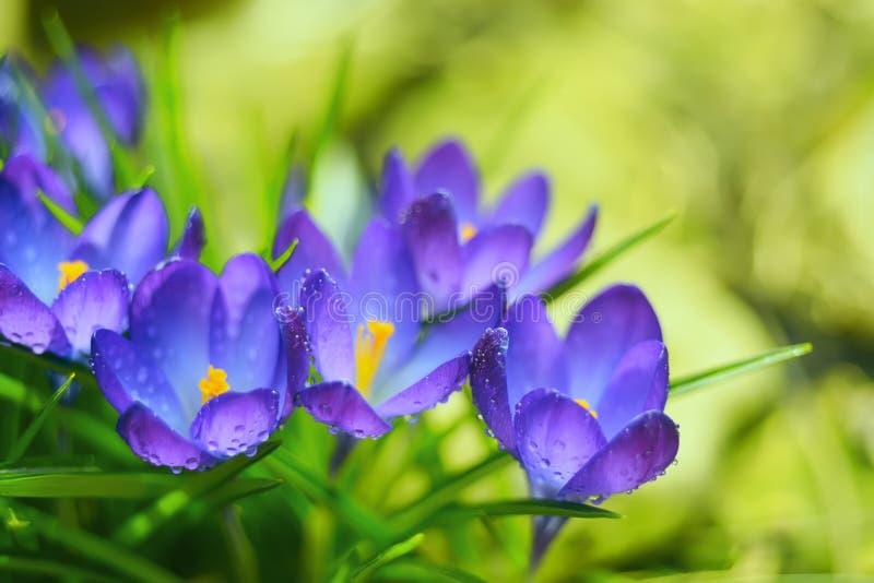 fleurs de crocus, safran photographie stock libre de droits