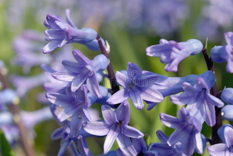 Fleurs de crocus sur l'herbe Profondeur de zone image libre de droits