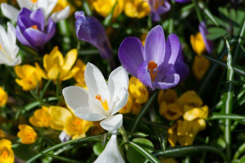 Fleurs de crocus sur un parterre photos stock