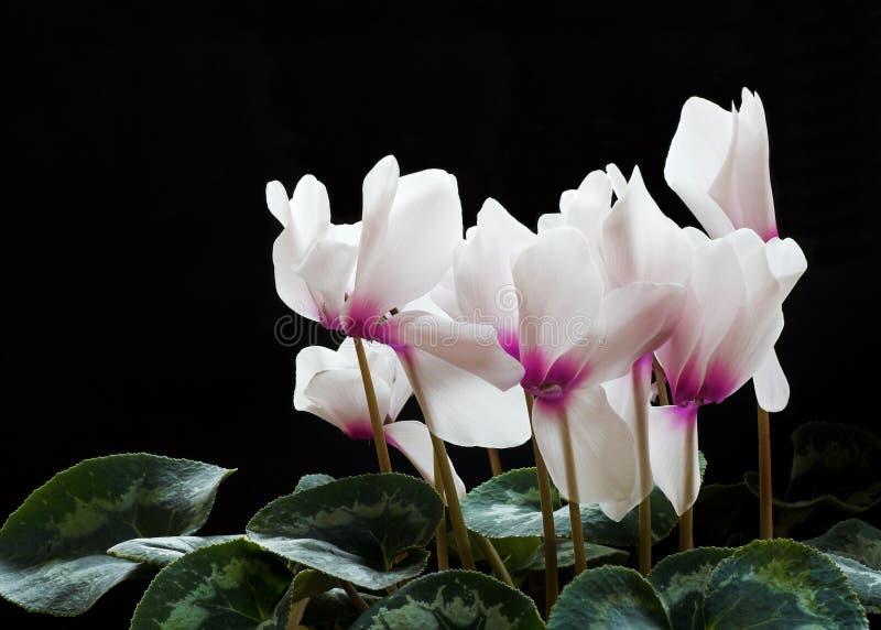 Fleurs de Cyclamen image stock