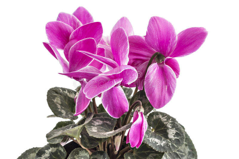 Fleurs de Cyclamen photographie stock libre de droits