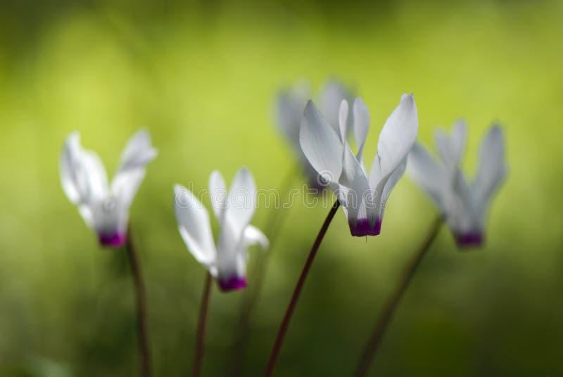 Fleurs de Cyclamen, fleurissant en hiver tardif photographie stock