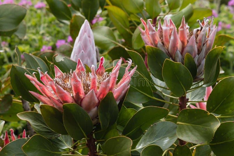 Fleurs de cynaroides de Protea images libres de droits