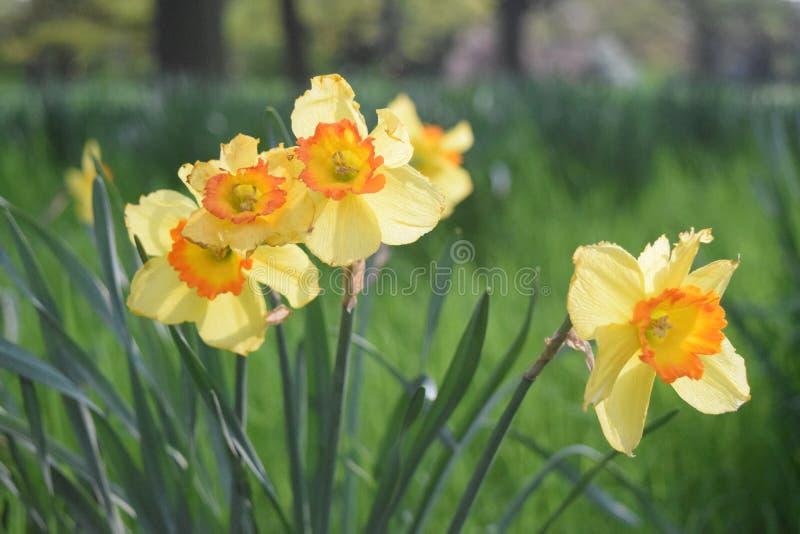 Fleurs de Dafodil fleurissant au printemps photos stock