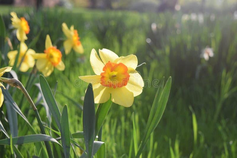 Fleurs de Dafodil fleurissant au printemps images stock
