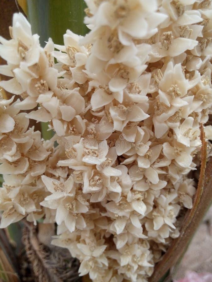 Fleurs de dates image libre de droits