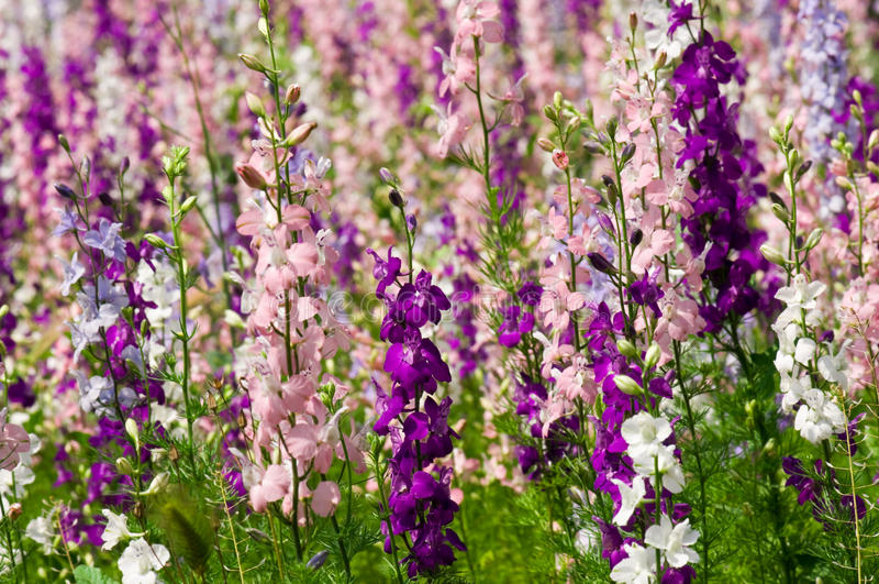 Fleurs de Delfinium image stock