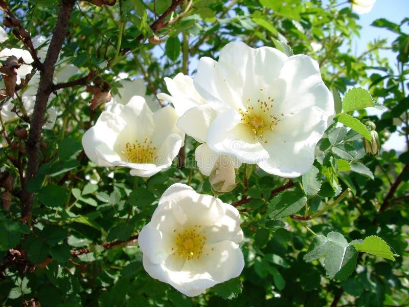Fleurs de Dogrose images stock