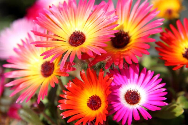 Fleurs de Dorotheanthus photo libre de droits