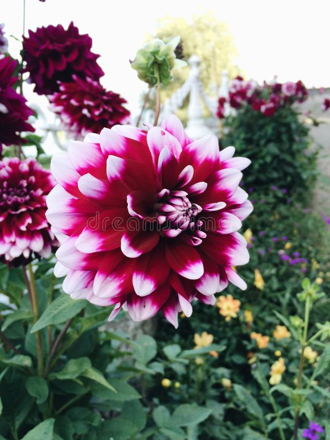 Fleurs de ` de duo de ` de dahlia photo libre de droits