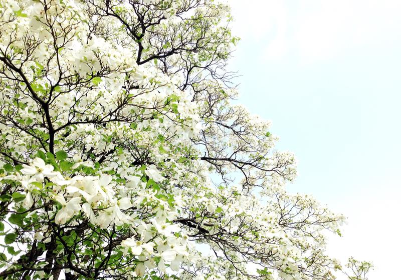 Fleurs de fleur blanche photo stock