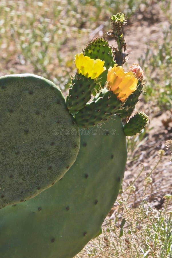 Fleurs de fleur de figuier de barbarie image stock