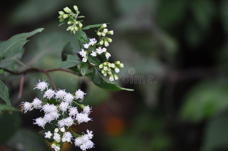 Fleurs de floraison blanches Baby' ; souffle de s image libre de droits
