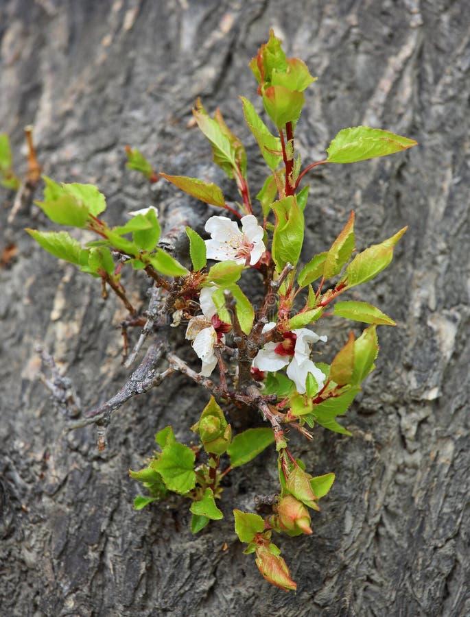 Fleurs de floraison d'abricot photo libre de droits