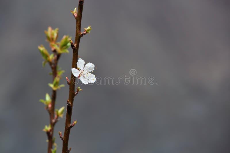 Fleurs de floraison d'abricot image libre de droits