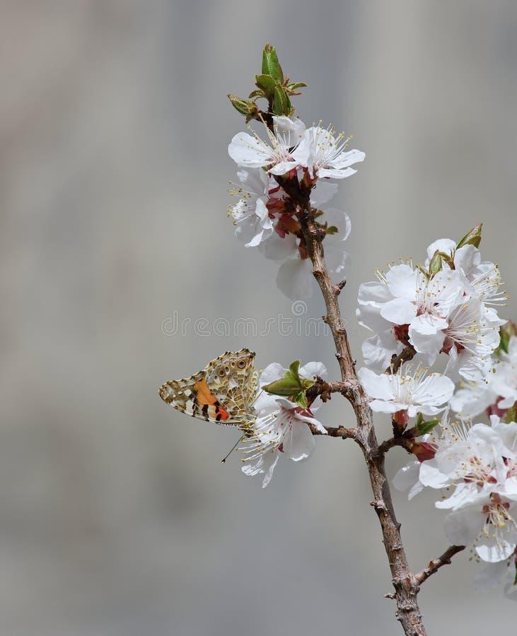 Fleurs de floraison d'abricot photographie stock