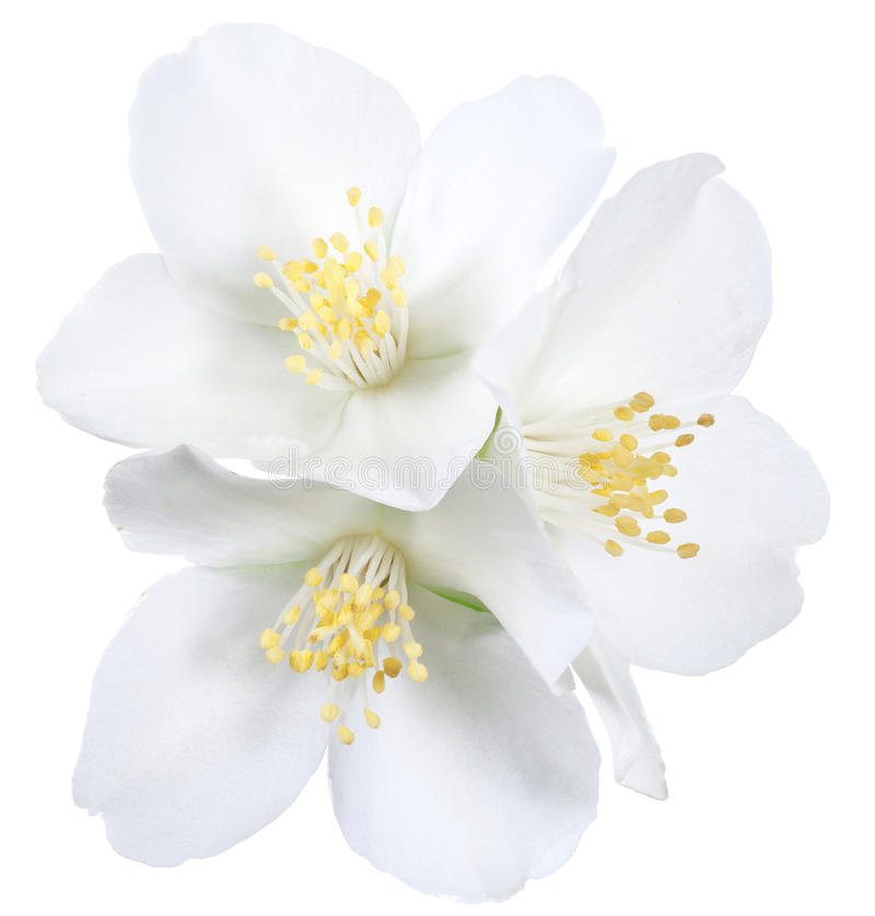 Fleurs de floraison de jasmin photographie stock libre de droits