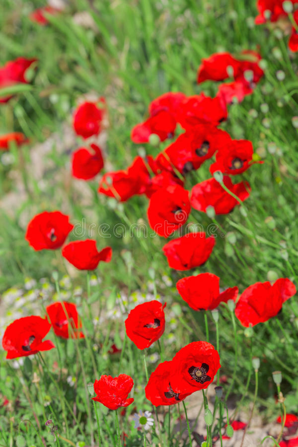 Fleurs de floraison de pavots sur le champ vert naturel photographie stock libre de droits