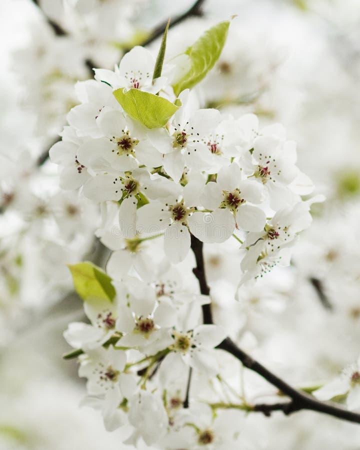 Fleurs de floraison de poire de Bradford de source images libres de droits