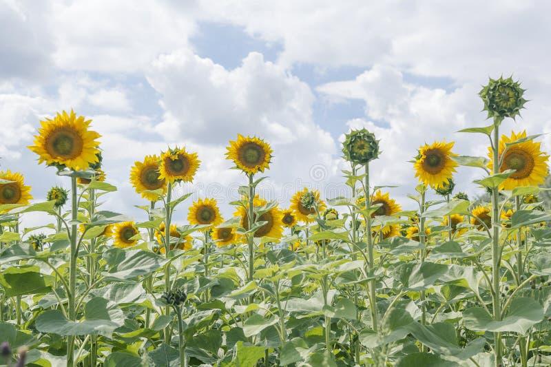 Fleurs de floraison de tournesol dans le domaine vert photo stock