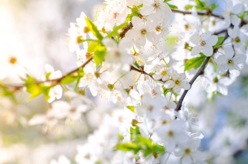 Fleurs de floraison des abricotiers de fruit avec le centre sélectif et la profondeur du champ image stock