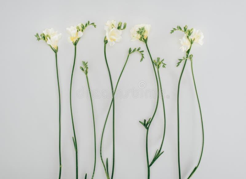 Fleurs de floraison de freesia images libres de droits